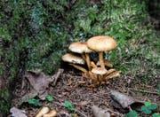 So wie im Naturschutzgebiet Hudelmoos schiessen zurzeit im ganzen Thurgau die Pilze aus dem Boden. (Bild: Thi My Lien Nguyen)