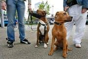 Ein Pitbull (mit Maulkorb) und ein Pitbull-Rottweiler-Mischling: Beide dürften im Thurgau nur mit Bewilligung gehalten werden. In St.Gallen und beiden Appenzell gibt es keine solchen Einschränkungen. (Bild: ALESSANDRO DELLA BELLA (KEYSTONE))
