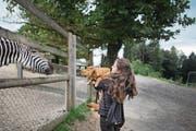 Was riecht denn hier so komisch? Julia Bolzerns Tollerwelpe Malou beäugt ein Zebra im Walter-Zoo. Oder umgekehrt? (Bild: Benjamin Manser)