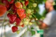 Erdbeerernte im Thurgau: Auf regionale Ware müssen die Konsumenten noch Wochen warten. (Bild: Reto Martin)