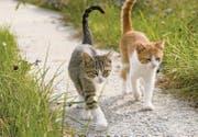 Fachleute empfehlen, weibliche Freigänger-Katzen mit sechs Monaten zu kastrieren, männliche ein bis zwei Monate später. (Bild: fotolia)