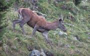 Die Hirschjagd hat Hochsaison. Die Werdenberger Jägerinnen und Jäger sind mit dem Abschuss auf Kurs. (Bild: Peter Eggenberger)