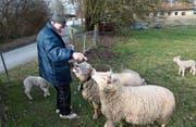Richard Neururer füttert die beiden Muttertiere auf der Weide in der Salmsacher Bucht. (Bild: Markus Schoch)