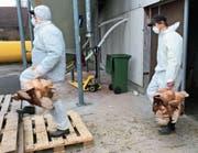 Eine auf die Entsorgung ausgedienter Legehennen spezialisierte Firma führte die Tötung in Neukirch-Egnach durch. (Bild: PD)