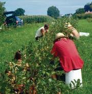 Ernte 2010 in Tägerwilen: In Handarbeit werden die Beeren vom Strauch gepflückt. (Bild: pd/Veiko Hellwig)