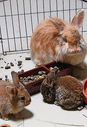 Kaninchen mit Jungtieren.