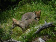 Einer der Jungwölfe des Calandarudels ist zwischen Tamin und Trin unter einen Zug geraten. (Bild: pd)
