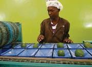 Avocados werden verpackt: Der Sifem unterstützt unter anderem die Firma AvoHealth in Kenia. (Bild: SIFEM)