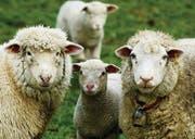 Lämmerzeit: Diese Schafe sind gut versorgt und konnten in Ruhe ablammen. Andernorts, in Tägerwilen, ist es Artgenossen schlecht ergangen. (Bild: Reto Martin)