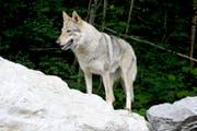 Wölfe werden nicht zum Abschuss freigegeben. (Bild: Keystone)