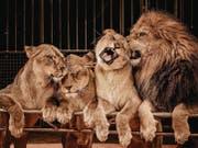 Zirkusfans werden künftig Löwen in der Manege des Circus Royal bestaunen können. (Bild: fotolia/Andrejs Pidjass)