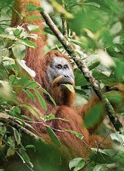 Gefährdete Orang-Utans. (Bild: PD)