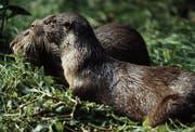 River otter (Bild: WWF Schweiz)