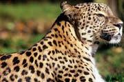 Persian Leopard (Bild: WWF Schweiz)