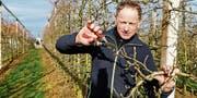 Obstbauer Josef Mäder in Goldach bei der Arbeit an seinen Apfelbäumen. Ihnen macht das warme Wetter nichts aus - er geniesst es. (Bild: Rudolf Hirtl)