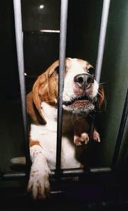 600 000 Tiere werden hierzulande jährlich für Versuche eingesetzt. (Bild: ky/Michael Kupferschmidt)