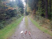 Die Hühner wurden in einem Waldstück aufgefunden - die Polizei sucht nun nach Hinweisen, wer die Tiere ausgesetzt hat. (Bild: Kapo TG)