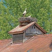 Ein Storch mit seinen Jungen in ihrem Horst im Saxerriet. (Bild: Thomas Schwizer)