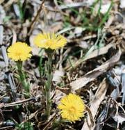 Der Huflattich kündigt den Vorfrühling an, er blüht, wenn der Boden sechs bis acht Grad warm ist. (Bild: Eveline Dudda)