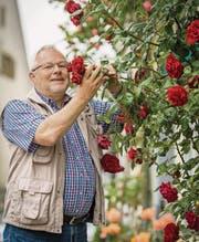 OK-Präsident Bernhard Bischof bewundert Kletterrosen an einer Hausfassade in der Neugasse. (Bild: Reto Martin)