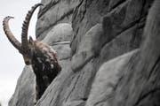 In freier Wildbahn kommen die scheuen Steinböcke, die aber gut an den Menschen gewöhnt sind, selten so nahe vor die Linse wie im Wildpark Peter und Paul. (Bild: Urs Jaudas/Archiv)