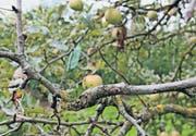 Ein befallener Apfelbaum der Sorte Jonagold aus der Ostschweiz. (Bild: Kn.)