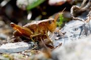 Kupferrote Variante des Weibchens der Schweizer Goldschrecke auf dem Chäserrugg. (Bild: René Güttinger)