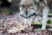 Der Wolf M75 hat in den vergangenen Monaten über 50 Schafe gerissen. Als dritter Kanton erlässt nun auch St.Gallen gegen ihn eine Abschussverfügung. (Symbolbild) (Bild: Benjamin Manser)