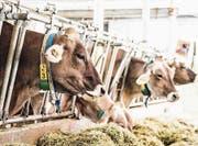 Fressen primär Heu: Kühe auf dem Arenenberg. (Bild: Thi My Lien Nguyen)