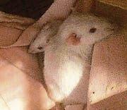 Die Ratten wurden im Warteggpark gefunden. (Bild: pd)