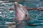 Delfinshows gibt es im Connyland nicht mehr lange - die verbliebenen Meeressäuger werden weggegeben. (Bild: Archiv/Susann Basler)