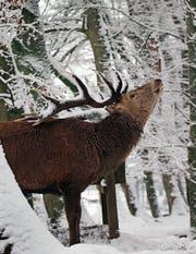 Der frühe Wintereinbruch verhalf der Jägerschaft zu einem guten Hirschabschuss. (Bild: Eddy Risch/Keystone)