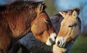 Verwildert, aber nicht ursprünglich. Rare Przewalski-Pferde. (Bild: KEY)