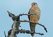 Der Turmfalke, 2008 Vogel des Jahres. (Bild: Ruedi Aeschlimann/KEY)