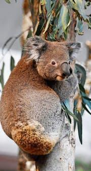 Eines der beiden Koala-Männchen im Zoo Zürich.