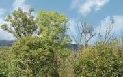 Die dürre Baumkrone einer kranken Esche rechts im Bild, links daneben die einer (noch) gesunden. (Bild: Corinne Hanselmann)