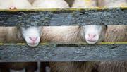 Schafe in einem Gehege in Vals. (Bild: Gian Ehrenzeller/Keystone (Vals, 17. September 2015))