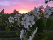 Im Thurgau stehen Birn- und Apfelbäume im Vollblust. (Bild: chs)