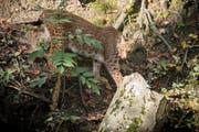 Auch im Pfälzerwald soll es mit Hilfe des Kantons St.Gallen wieder Luchse geben. Auf dieser Aufnahme ein Tier aus dem Wildpark Peter und Paul. (Bild: Urs Bucher/Archiv)