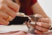 Jung-Igel, die den Winterschlaf abbrechen, haben oft zu wenig Fettreserven und sind ausgehungert. Dann ist eine Zufütterung nötig. (Bild: Reto Martin)