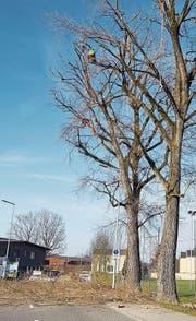 Hoch oben im Baum (Bild: PD)