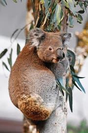 Eines der beiden Koala-Männchen in der neuen Australienanlage im Zoo Zürich. (Bild: WALTER BIERI (KEYSTONE))