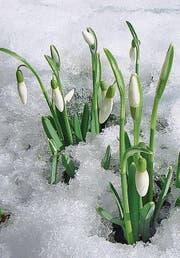 Es zeigen sich die ersten Schneeglöckchen. (Bild: Bert Stankowski)