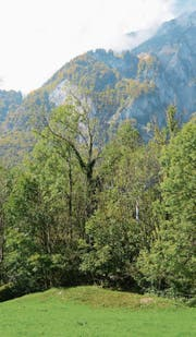 Die kranke Esche, deren Krone fast kahl ist, sticht aus den gesunden Bäumen heraus. (Bild: Corinne Hanselmann)