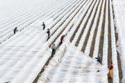 Das Abdecken von Erdbeerfeldern mit einem Vlies bietet den empfindsamen Blüten der Pflanzen einen gewissen Schutz vor Temperaturen im Minusbereich. Wo Berieselungsanlagen verlegt sind, kann auch das aufwendige «Einfrieren» Schutz bieten.