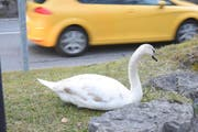 Dieser Jungschwan hat sich in seiner Not direkt am Strassenrand niedergelassen. (Bild: Thomas Schwizer)