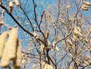 Wegen des milden Januars blüht der Haselstrauch bereits früher als normal. (Bild: Susanne Basler)