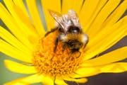 Bumblebee, garden (Bild: WWF Schweiz)