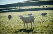 Vier Schafe wurden Opfer von Jägersschüssen. (Bild: Reto Martin)