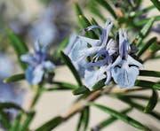 Der herrlich blau blühende Rosmarin ist eine beliebte Gewürzpflanze aus dem Süden. (Bild: Bert Stankowski)
